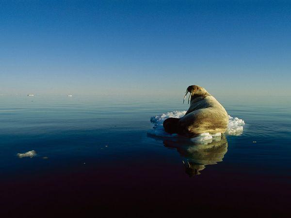 morsa en iceberg