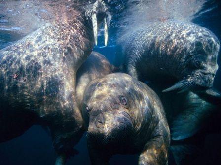 morsas bajo el agua