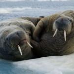 dos morsas en el hielo